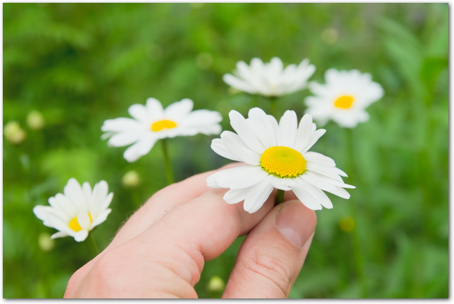 Camomile flowers in hand